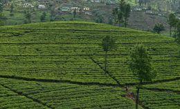Liptons Tea Gardens
