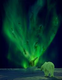 An Aurora of Polar Bears