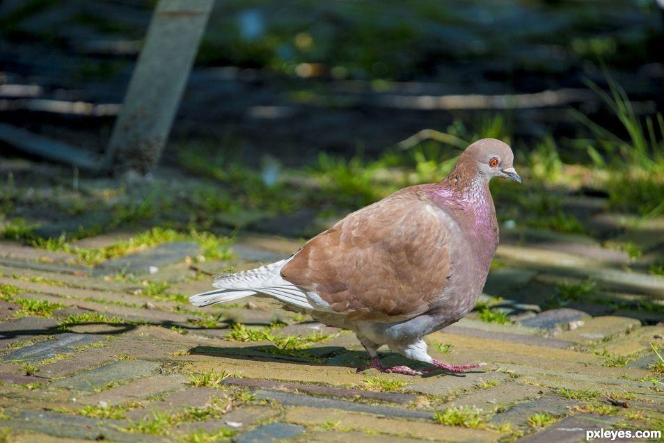 Mc pigeon