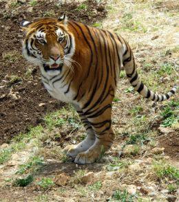 Two-legged tiger