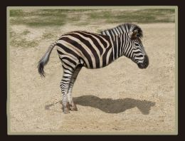A NEW BREED OF ZEBRA