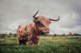 Furry Cattle