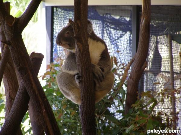 Koala & Leaves (K&L)