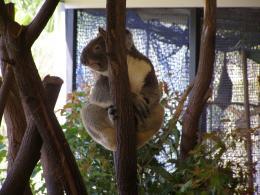 KoalaampLeavesKampL