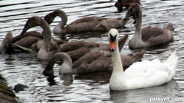 Young and Old - Swans