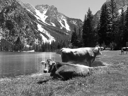 grazing near the lake