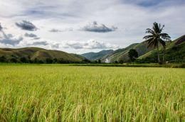 Rice field down hill