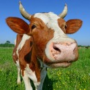 cow mania photography contest