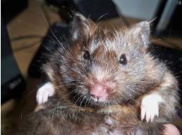 hamster- Darvin