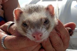 A little ferret