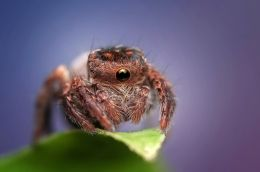 Cyclope Spider Picture
