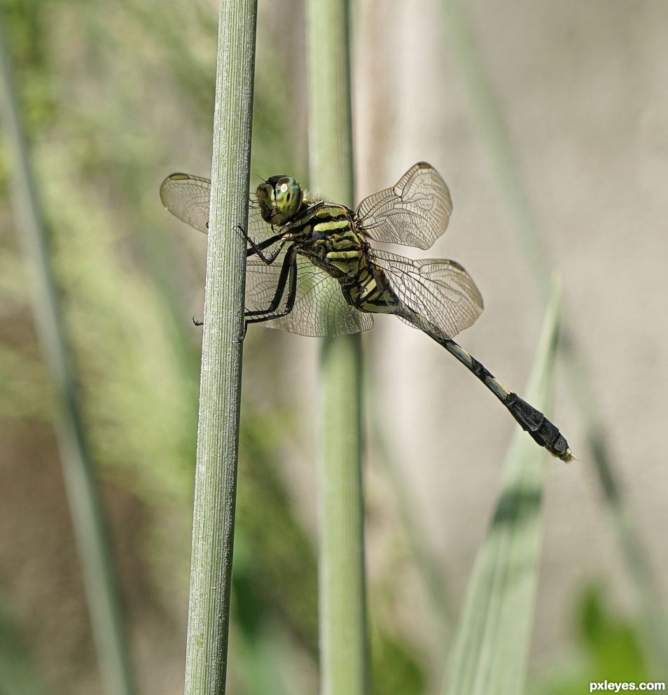 David, the Dragonfly in Dubai