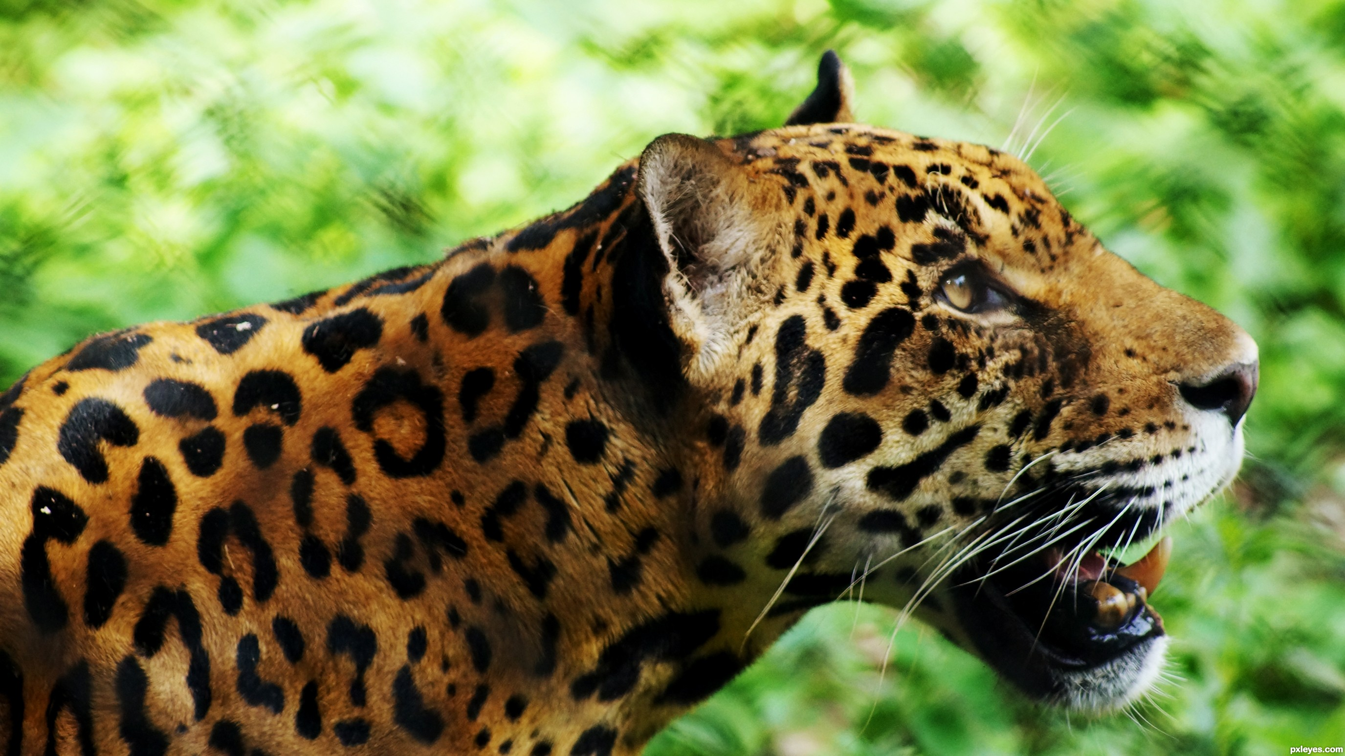 Leopard Photography Contest Pictures - Image Page 1 ...