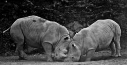 FightingRhinos