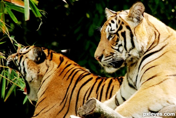couple tiger