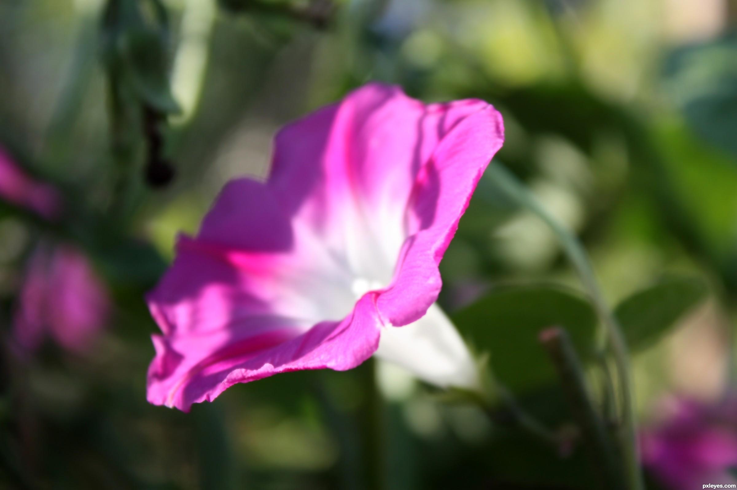 Ipomoea purpurea picture by sdaniela for dappled shade 2 for Ipomea purpurea