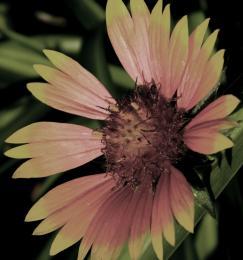 WaxedSunflower