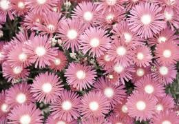 colorlessflowers