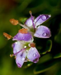 Dewonalittleflower