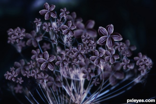 many purple dill flower open