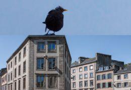 Big blackbird went to town