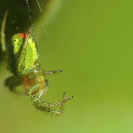 Greencrabspider