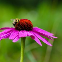 BeeonaCornflower