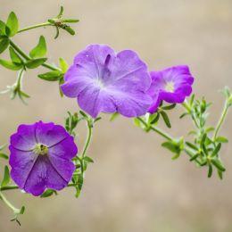 Petunias Picture