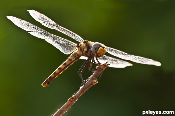 Laughing Dragon fly