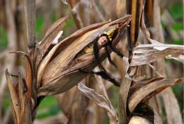 The Corn Queen