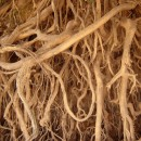entangled roots source image