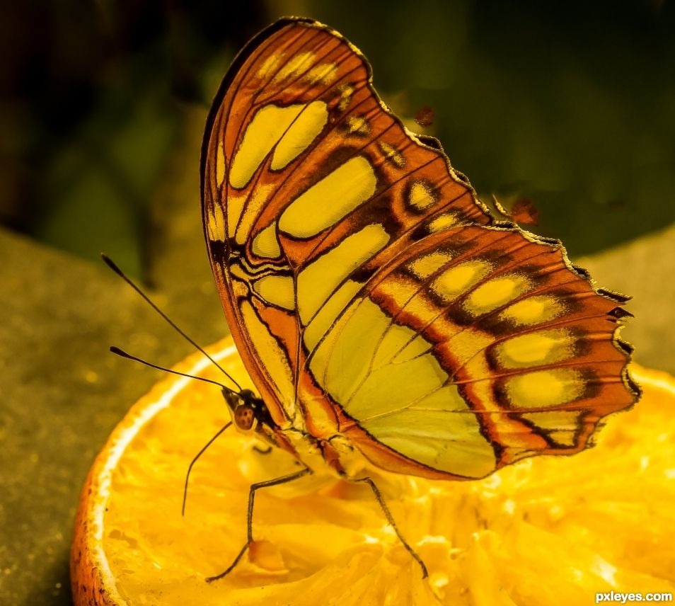 colorful butterfly eating an orange