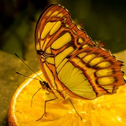 colorfulbutterflyeatinganorange