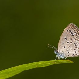 Tiny Grass Blue! Picture