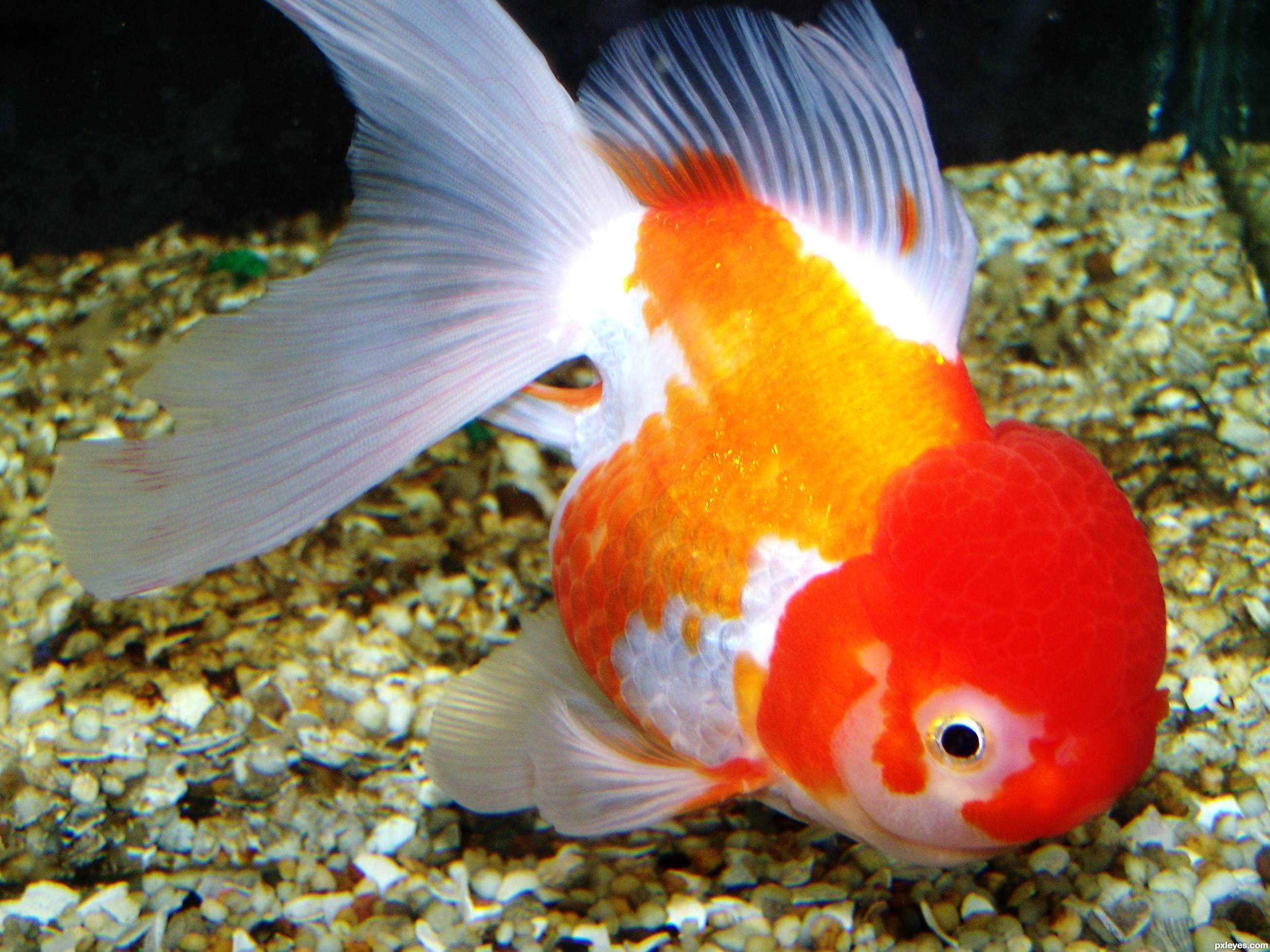 Oranda picture, by Sheridan for: everything fish 2 photography contest ...