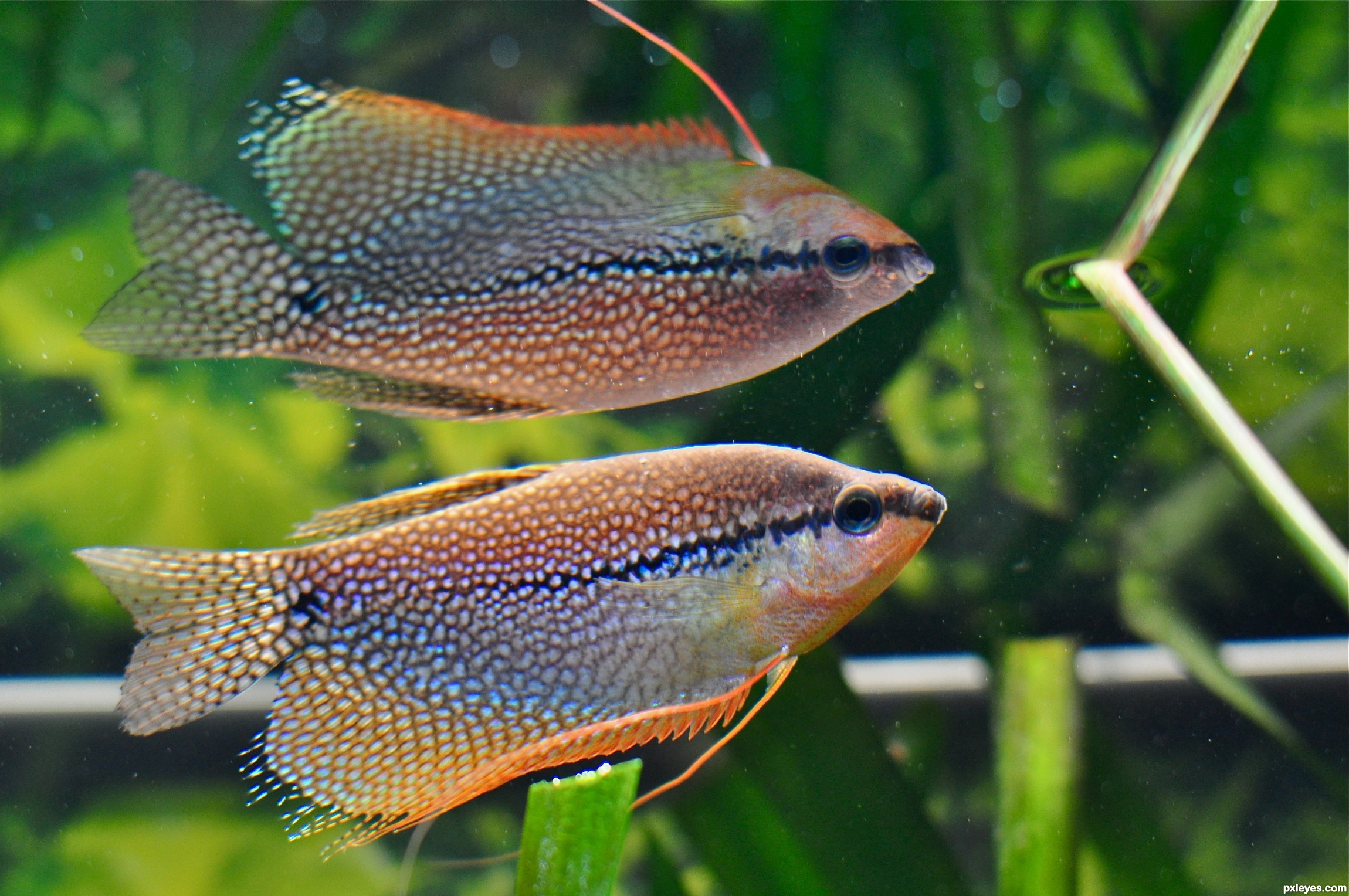 Pearl Gourami picture, by Titome58 for: everything fish 2 photography ...