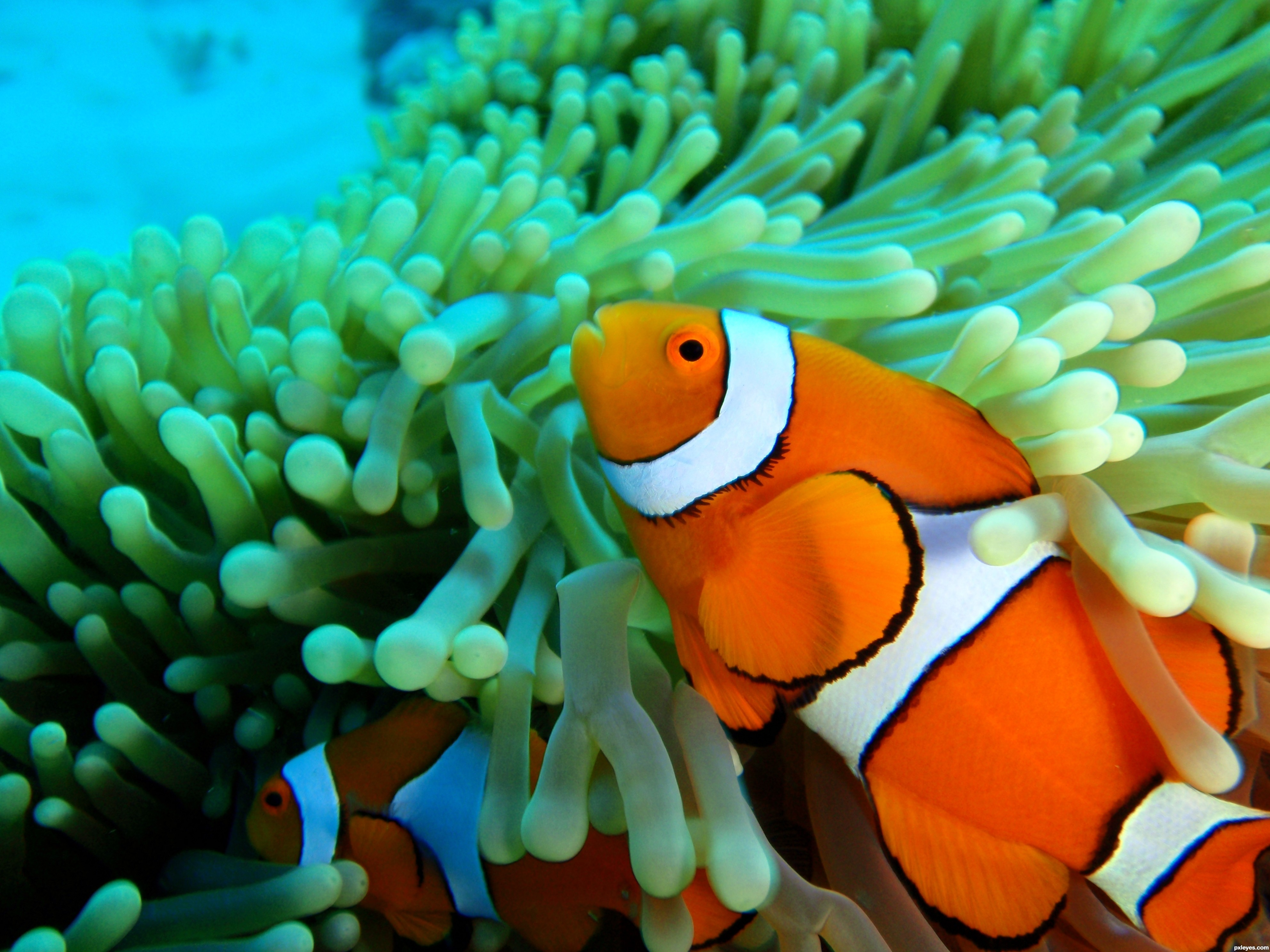 Everything fish photography contest 16446 pictures page for Pictures of clown fish