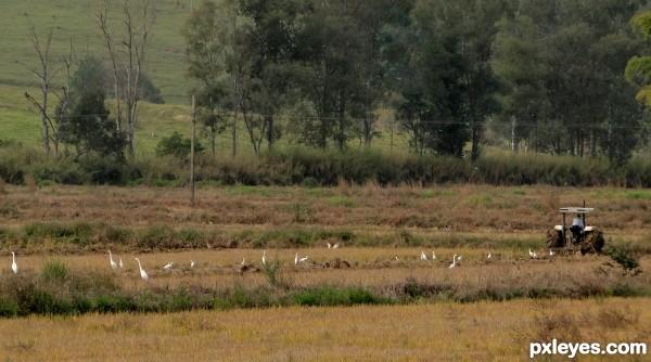 Planting egrets