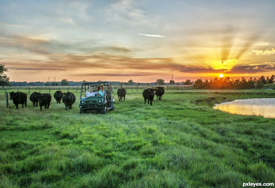 Bringing in the cows at sunset