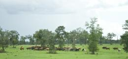 CowsFeeding
