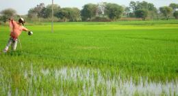 Ricecrop
