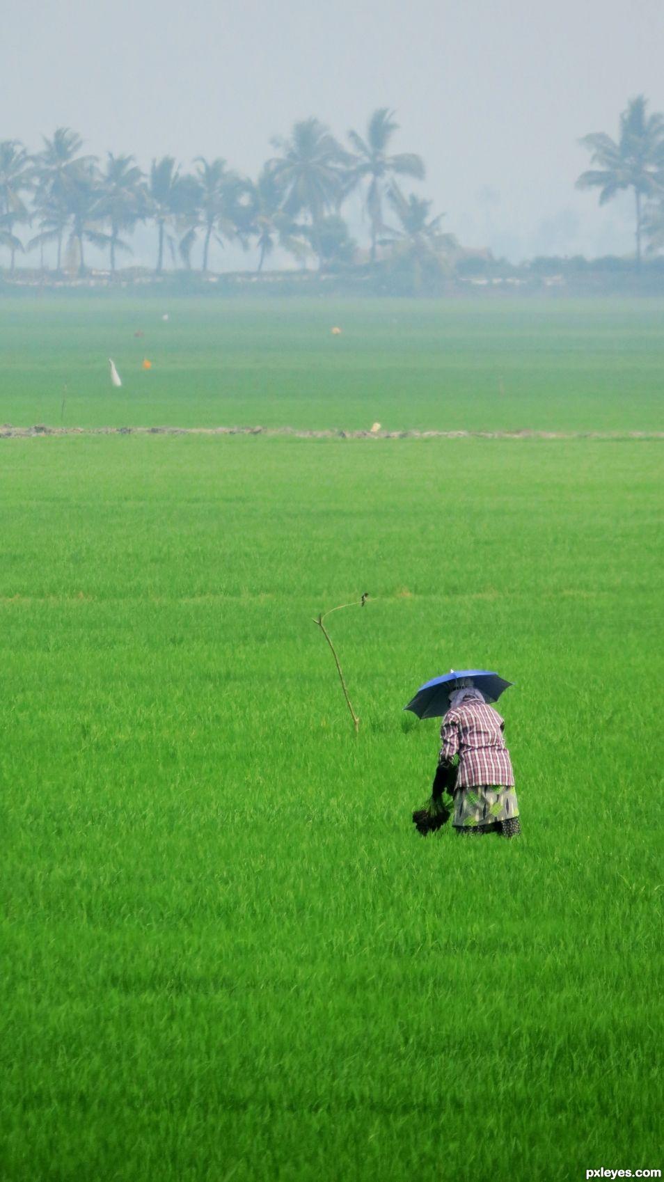 Worker in a paddy field