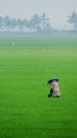 Worker in a paddy field