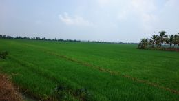 Green fields of Kerala