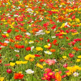 Fieldofpoppies