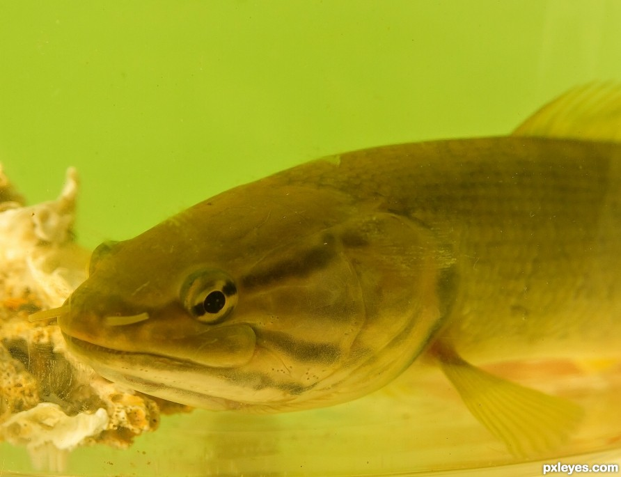 Bowfin Catfish aka dogfish picture, by janoogee for: fish in tank photography contest - Pxleyes.com