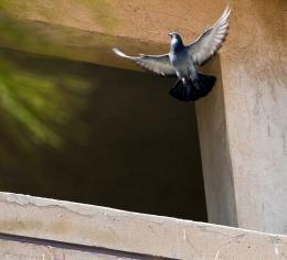 Pigeontakeswing