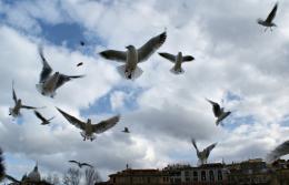 SeagullsontheTiberriver