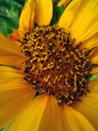 AnotherSunflower