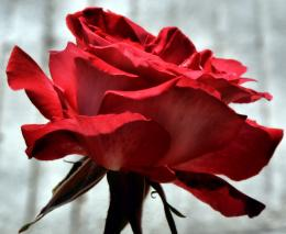 Rosey Red Picture